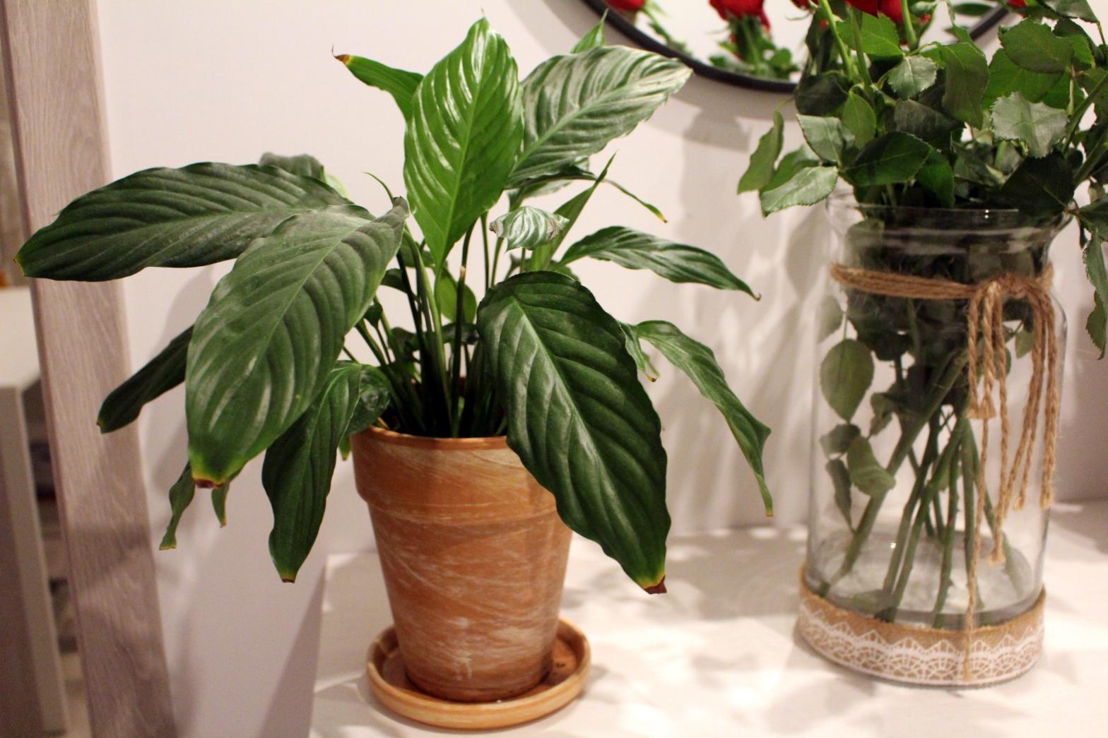 Doniczkowe Kwiaty Cieniolubne W Domu I Ogrodzie